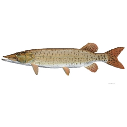 Muskellunge by Flick Ford