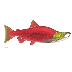 Sockeye Salmon by Flick Ford