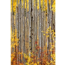 Aspen Intimacy 2008Aspen Intimacy, Colorado Photography, Gallery Steamboat Springs,  Gallery Downtown Steamboat, Aspens, Fall Aspens,  Gallery Wrap, Giclee, Colorado Aspens, Barry Bailey, Mountain Traditions, Art, Gallery, Wall decor