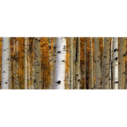 Owl Creek PassCastle Aspens, Colorado Landscape, Steamboat Springs, Photography, Art Gallery Steamboat, Aspen Trees, Giclee Print, Gallery Wrap, Barry Bailey, Mountain Traditions, Gallery, Art, Downtown Steamboat,  Colorado