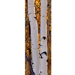 Aspen Intimacy Lite, Colorado Landscape, Steamboat Springs, Photography, Art Gallery Steamboat, Aspen Trees, Giclee Print, Gallery Wrap, Barry Bailey, Mountain Traditions, Gallery, Art, Downtown Steamboat,  Colorado