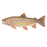 Yellowstone Cutthroat Trout by Flick Ford