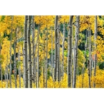 Golden Aspens, Colorado Landscape, Steamboat Springs, Photography, Art Gallery Steamboat, Aspen Trees, Giclee Print, Gallery Wrap, Barry Bailey, Mountain Traditions, Gallery, Art, Downtown Steamboat