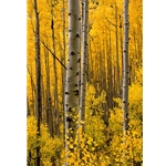Aspen Intimacy, Colorado Photography, Gallery Steamboat Springs,  Gallery Downtown Steamboat, Aspens, Fall Aspens,  Gallery Wrap, Giclee, Colorado Aspens, Barry Bailey, Mountain Traditions, Art, Gallery, Wall decor