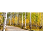Road Less Traveled, Colorado Landscape, Steamboat Springs, Photography, Art Gallery Steamboat, Aspen Trees, Giclee Print, Gallery Wrap, Barry Bailey, Mountain Traditions, Gallery, Art, Downtown Steamboat, Durango Colorado