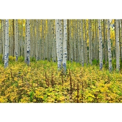 Off the Road Aspens Colorado Photography, Gallery Steamboat Springs,  Gallery Downtown Steamboat, Aspens, Fall Aspens,  Gallery Wrap, Giclee, Colorado Aspens, Barry Bailey, Mountain Traditions, Art, Gallery, Wall decor, Colorado, Aspen Colorado