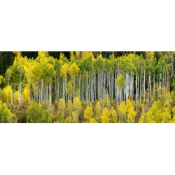 Castle Aspens, Colorado Landscape, Steamboat Springs, Photography, Art Gallery Steamboat, Aspen Trees, Giclee Print, Gallery Wrap, Barry Bailey, Mountain Traditions, Gallery, Art, Downtown Steamboat,  Colorado