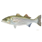 Striped Bass by Flick Ford