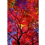 Kaleidoscope, Colorado Photography, Gallery Steamboat Springs,  Gallery Downtown Steamboat, Aspens, Fall Aspens,  Gallery Wrap, Giclee, Colorado Aspens, Barry Bailey, Mountain Traditions, Art, Gallery, Wall decor, Colorado