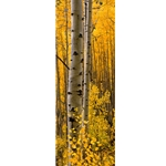 Aspen Intimacy LiteAspen Intimacy Lite, Colorado Landscape, Steamboat Springs, Photography, Art Gallery Steamboat, Aspen Trees, Giclee Print, Gallery Wrap, Barry Bailey, Mountain Traditions, Gallery, Art, Downtown Steamboat,  Colorado